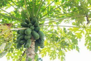Papaya Benefits in Hindi